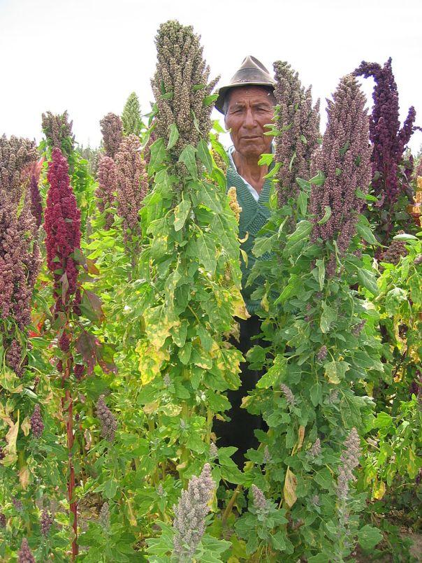 768px-Quinoa_farmer_in_Cachilaya