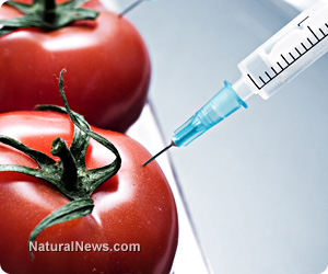GMO-Tomatoes-Needle-Inject